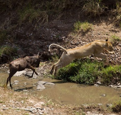 Wildebeast chasing lion?